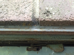 spiderlings on brickwork